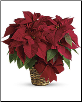 Medium Red Poinsettia