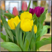 Mixed Potted Tulips